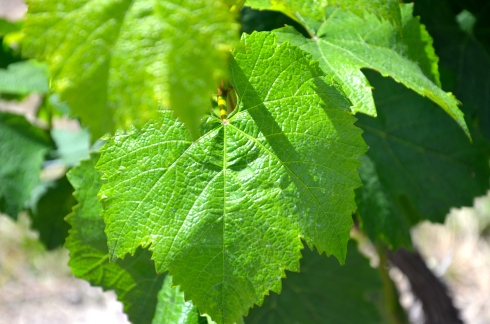 Warm sunny days, cool nights and not too much rain keeps Lake Chelan grapevines happy.