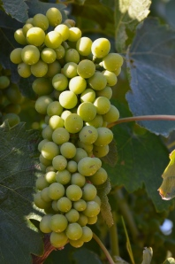 Very young Syrah grapes from Z Block.